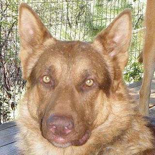 Dog Details - California Golden State German Shepherd Rescue