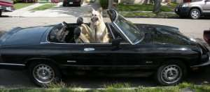 German Shepherd in a black convertible